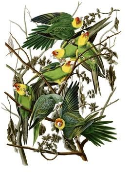 Last Carolina Parakeet