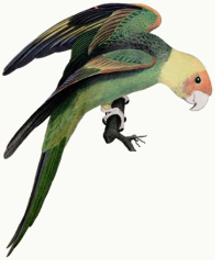 Photo of Extinct Carolina Parakeet